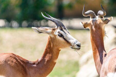 tanzania antelope: Wild Gazelles On Savannah In National Park