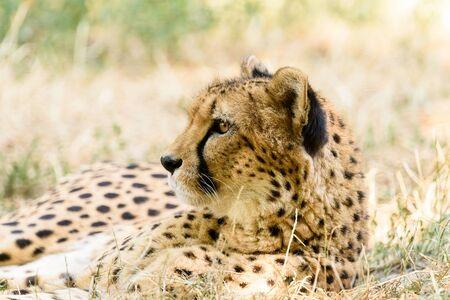 savannah: Wild Cheetah In Africa Savannah Stock Photo