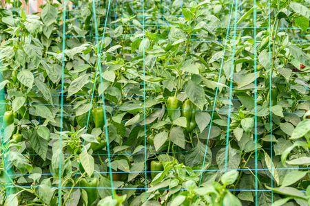 greenery: Green Pepper In Vegetable Greenery Garden Stock Photo