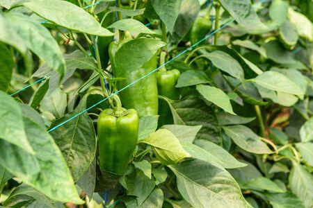 green pepper: Green Pepper In Vegetable Greenery Garden Stock Photo