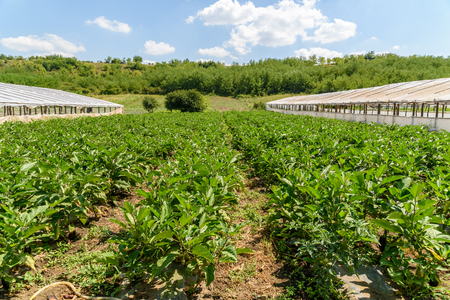 agriculture industry: Fresh Organic Aubergine Plants On Agricultural Field