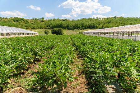 Fresh Organic Aubergine Plants On Agricultural Field