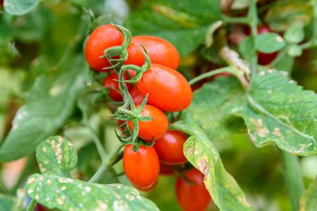 tomates: Los tomates de color rojo cereza en una vid en invernadero
