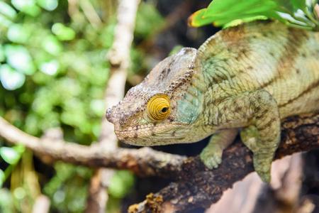 chameleon lizard: Green Chameleon Lizard On Branch Stock Photo