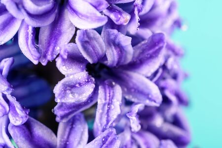 hyacinthus: Wet Common Dutch Garden Hyacinth (Hyacinthus Orientalis) With Water Droplets