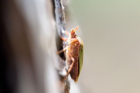 palomena: Shield Bug On A Tree Macro