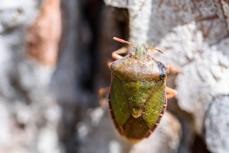 prasina: Shield Bug On A Tree Macro