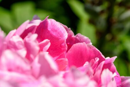 flower close up: Pink Peony (Paeonia) Flower Close Up