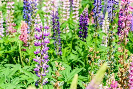 snapdragon: Pink And Purple Snapdragon Flowers In Spring Stock Photo