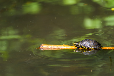 wood stick: Pond Turtle Heating In The Sun On Wood Stick In Lake Water