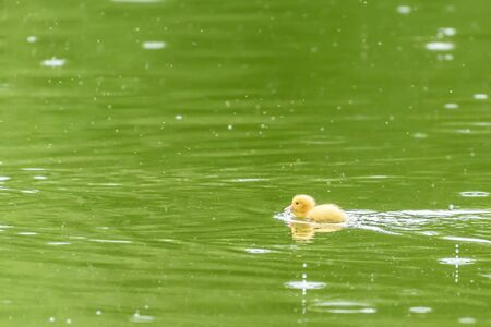 tiny: Yellow Tiny Duckling On Water