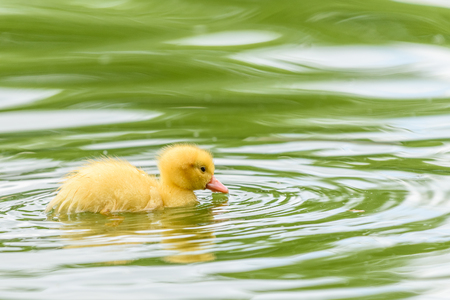 Yellow Tiny Duckling On Water