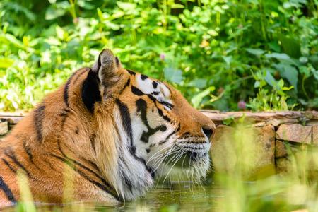 panthera tigris: Wild Young Tiger (Panthera Tigris) Portrait Stock Photo
