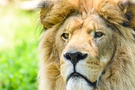 lion face: Wild Lion King Feline In Safari Portrait