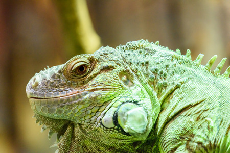 cold blooded: Green Iguana Reptile Portrait On Tree Branch