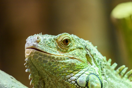 reptile: Green Iguana Reptile Portrait On Tree Branch