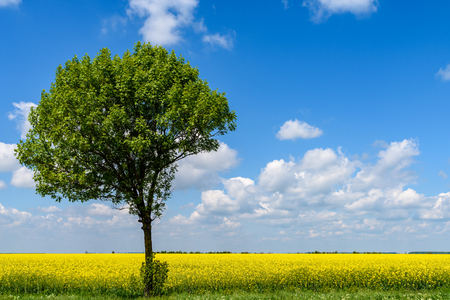 rapeseed: Green Tree In Yellow Rapeseed Flowers Field With Blue Sky