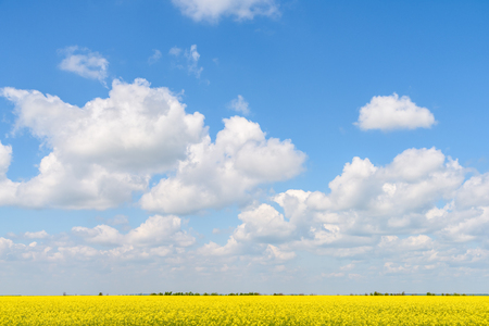 rapeseed: Yellow Rapeseed Flowers Field With Blue Sky