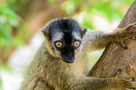 madagascar: Lemur Portrait On Madagascar Island Stock Photo