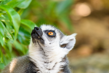 Lemur Portrait On Madagascar Island Stock Photo