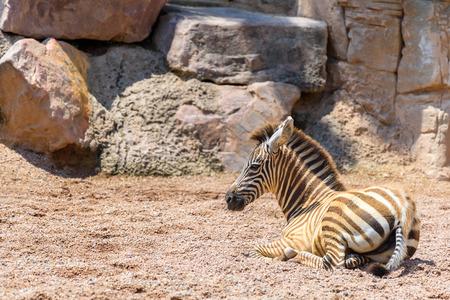 savanna: Baby Zebra In African Savanna Stock Photo