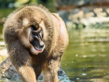 Drill Monkey (Mandrillus Leucophaeus) Portrait Stock Photo