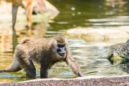 Baby Drill Monkey (Mandrillus Leucophaeus)