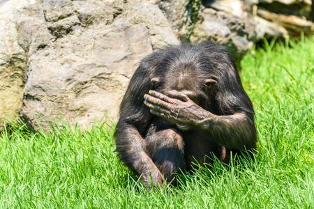 그의 얼굴을 숨기고있는 아프리카 침팬지