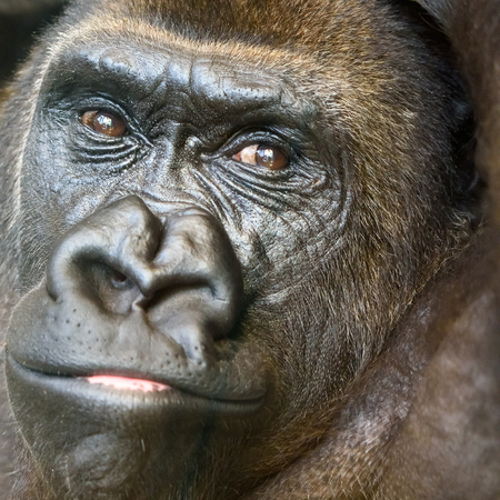 Black Gorilla Portrait Stock Photo