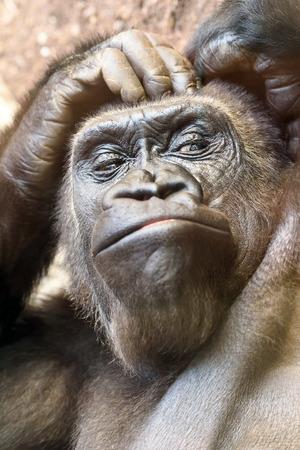 Black Gorilla Portrait Stock Photo
