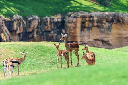 African Impala (Aepyceros Melampus) Antelope Stock Photo