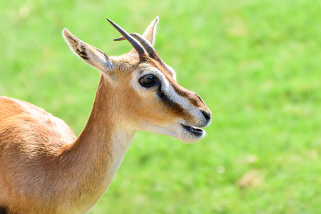 African Thomsons Gazelle (Eudorcas Thomsonii)