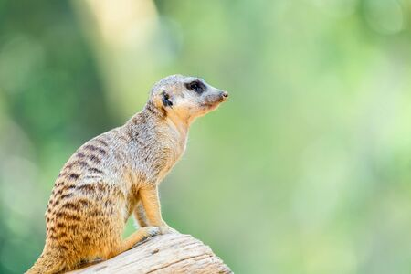 suricata: Meerkat or Suricate (Suricata Suricatta) in Africa Stock Photo