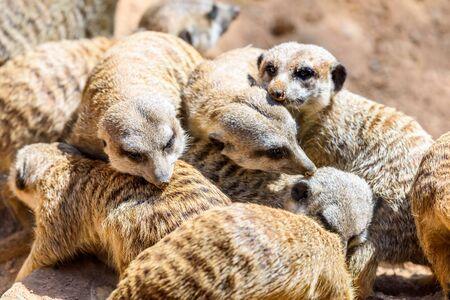Meerkat or Suricate (Suricata Suricatta) in Africa Stock Photo