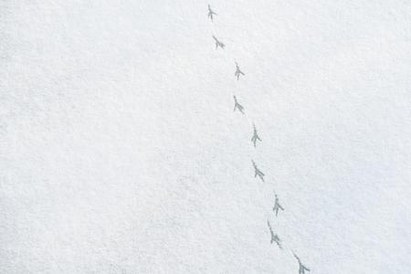 icey: Bird Foot Tracks On Snow