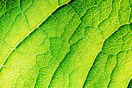 Green Leaf Texture With Visible Stomata Covering The Outer Epidermis Layer