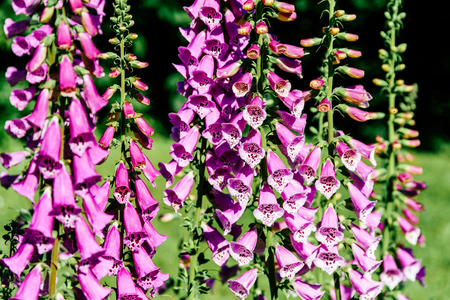 Pink Digitalis Foxgloves Plant Flowers In Garden Stock Photo