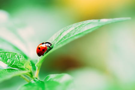Red Ladybug Insect On Green Leaf Macro Stock Photo
