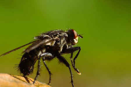 Fly (Musca Domestica) Macro On Leaf Stock Photo