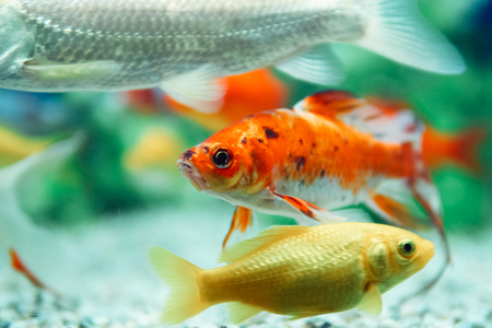 freshwater aquarium plants: Yellow and Red Goldfish Swimming In Aquarium