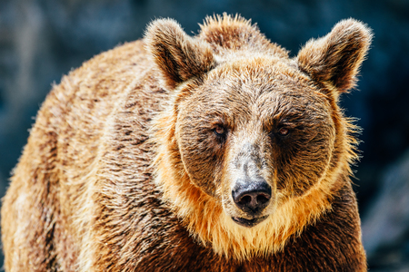 Brown Bear (Ursus Arctos) Portrait