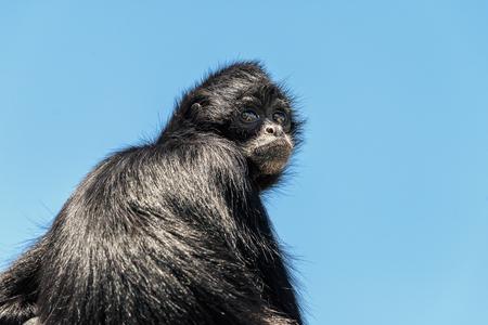 Black-Headed Spider Monkey (Ateles Fusciceps)