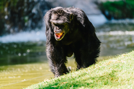 Portrait Of A Female Chimpanzee Walking Stockfoto