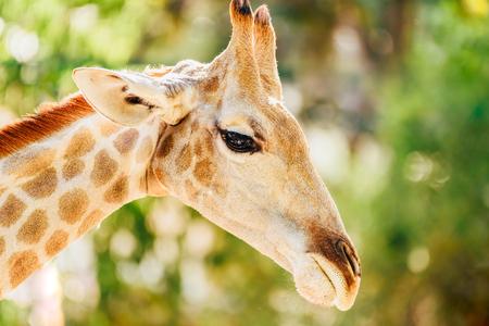 Wild African Giraffe Portrait