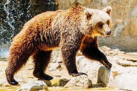 Brown Bear (Ursus Arctos) Portrait