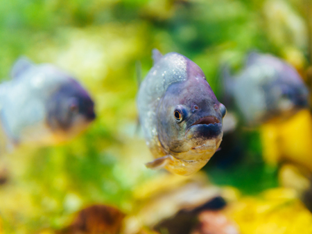 Underwater Closeup Of Piranha Fish