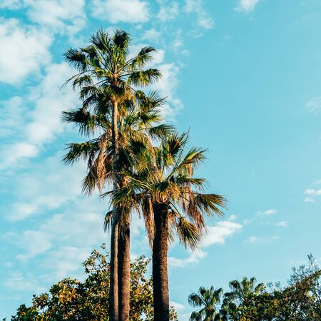 Palm Trees In Cannes Of French Riviera