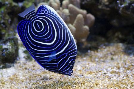 pez pecera: Pomacanthus navarchus azul ceñida ángel de pescado de mar Foto de archivo
