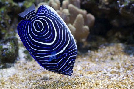 tropical fish: Pomacanthus navarchus blue girdled angel sea fish