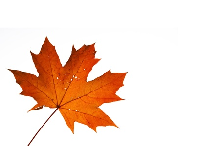 maple autumn leave isolated on white background with extra space for text Stock Photo - 13500303